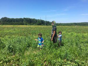 2 toddler boys with teenage girl in strawberry patch picking strawberries